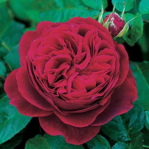 'L.D.Braithwaite' -R-, Englische Rose in A-Qualität Wurzelware