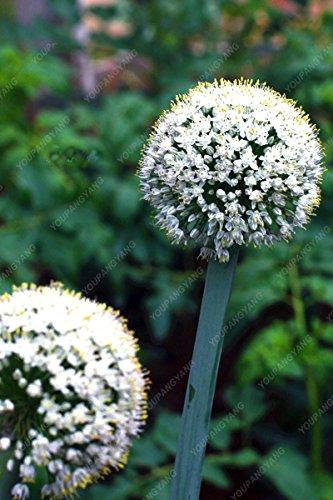 100 PCS/Sac oignon Graines géant Allium Graines Multicolor Balcon Fleurs belles plantes en pot de jardin maison jaune