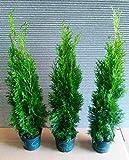 15 Thuja Pflanzen Smaragd im Topf, Thuja Smaragd, Höhe: 50-60 cm