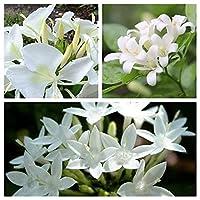 チューベローズ 月下香 夜来香 チューベローズ球根 色が多種多様である デスクトップの花 高い発芽率 花の球根-9 球根