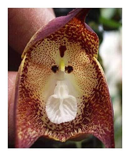 Orchidée visage de singe points violets - 20 graines
