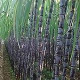 Semillas de caña de azúcar, 100pcs / bag de caña de azúcar Semillas comestibles suculentas alto contenido de azúcar de caña de azúcar Semillas sabrosos para Granja