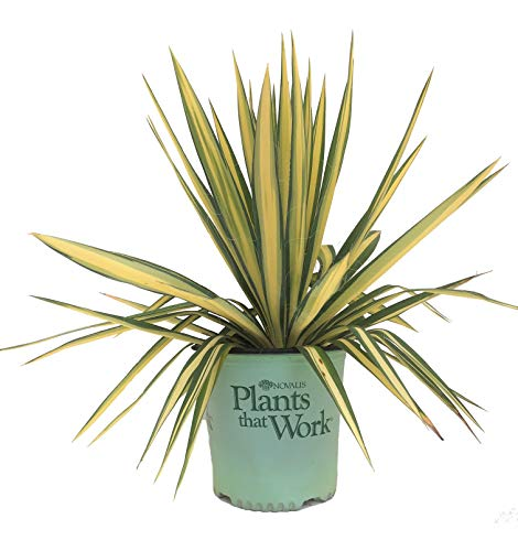 Plants That Work 20560 Color Guard Yucca Filamentosa, 2 Gallon, Variegated