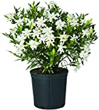 Shrub Frostproof Gardenia 2.5 Qt, White Blooms
