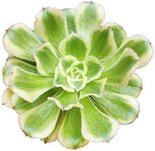 Aeonium arboreum Luteovariegatum Aeonium Tricolor Copper Pinwheel Succulent Aeonium Sunburst Aeonium Decorum - 2'' Plants
