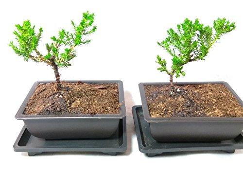 Two Japanese Juniper Bonsai Tree Plastic pot with tray 5' long