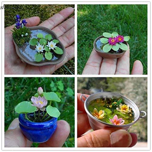 ScoutSeed 50 stücke: Mini Lotus Samen DIY Topfpflanzen Indoor Bonsai Ornamente Seerose S5DY 01