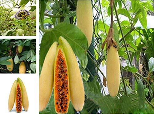 Exotische Essbare Passiflora Edulis Maracujá Banana Samen, Seltsam Gelbe Granadilla Fruchtsamen Gemüsegarten Obstbaumsamen Pflanzensamen Bananenförmige Passionsfrucht