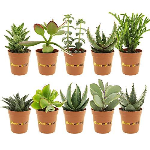 Desertworld Mini Sukkulenten Set - 10 Stück - Topfgröße Ø 6 cm - Pflanzenhöhe 8-15 cm