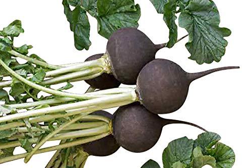 200 Samen *Schwarzer Winter-Rettich* - Gesund,Vitaminreich und Heilend -