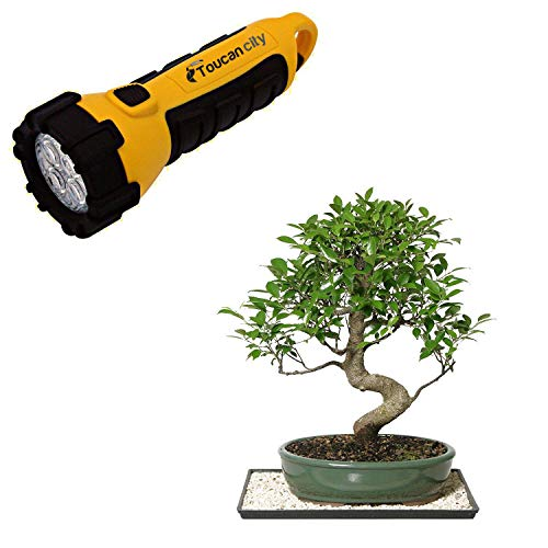 Toucan City LED Flashlight and Brussel's Bonsai Golden Gate Ficus (Indoor) CT-3004GGF