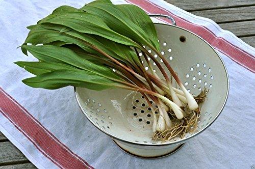 20 Wild Leek Seed,Ramp,Allium tricoccum'Best...