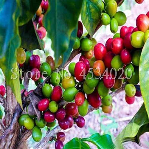 10 PC/Beutel Kaffeebohne Flores Bio-Obst plantas Gemüse Refreshing Bonsai-Anlage für Haus und Garten Bonsais planta: 1