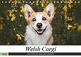 Welsh Corgi - Der Kobold unter den Hunden (Tischkalender 2021 DIN A5 quer)