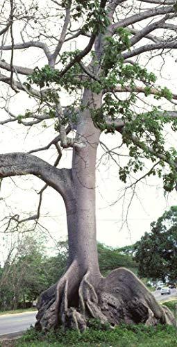 Ceiba Pentandra, Árbol Kapok Tropical Floración Madera Algodón Bonsai Semillas 10 Semillas