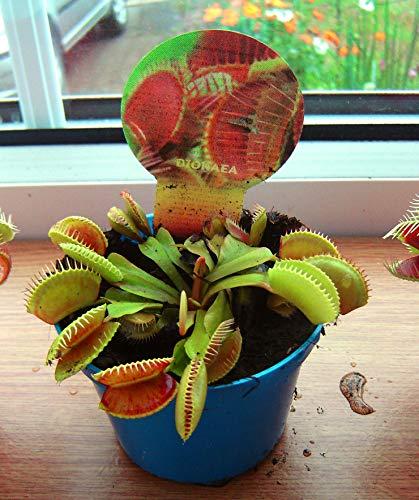 Venus Fliegenfalle fleischfressende Pflanze in 9 cm Topf Dionaea Muscipula Fliegenfalle (nicht Samen)
