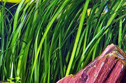WFW wasserflora Marmorierte Wasserschraube/Vallisneria spiralis 'Tiger' oder 'Marmor - 'Striped'