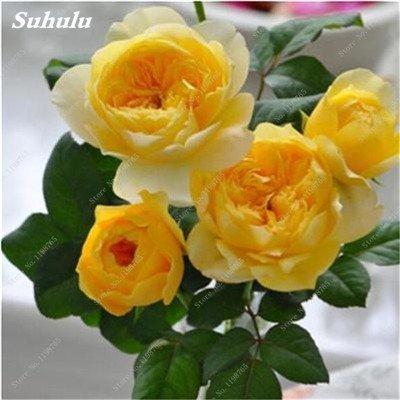 Mixed Seeds Rose, 200 Pcs Rare Bonsai Fleurs Rose, mélanger les couleurs Croissance naturelle Plante en pot pour le jardin Suppies Représentant Amour 15
