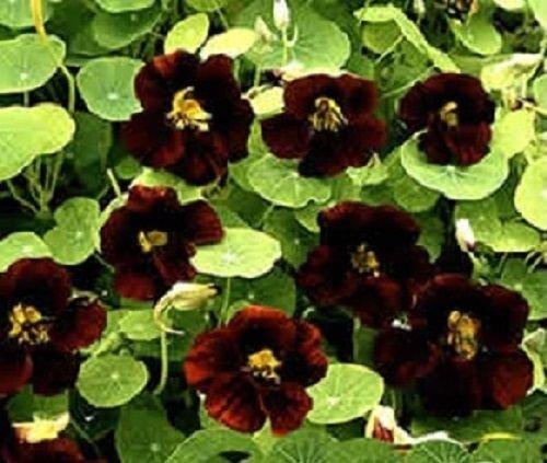 vegherb Neu! 35+ Black Velvet Kapuzinerkresse Blumensamen/Jahr