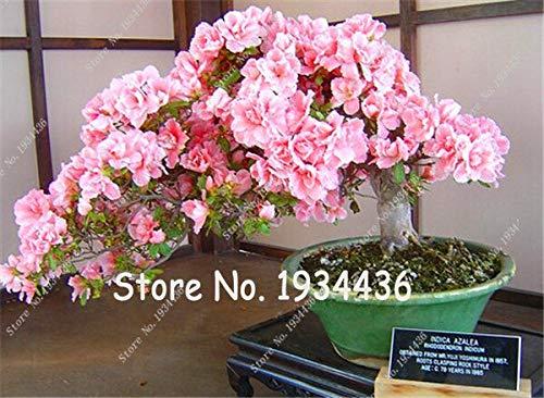 HONIC Samen-Paket: 100 PC/Bag Bonsai Azalea - Rhododendron Simsii Satsuki Mischfarbe DIY & amp; Garden Seeds: 1
