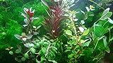 exclusive product - 35 live aquarium plants collection of aquatic plants for your fish tank - piante vive per acquario