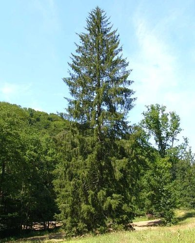 Gemeine Fichte (Picea abies) 30 Samen (Heimisch und Winterhart) auch Gewöhnliche Fichte, Rotfichte oder Rottanne genannt