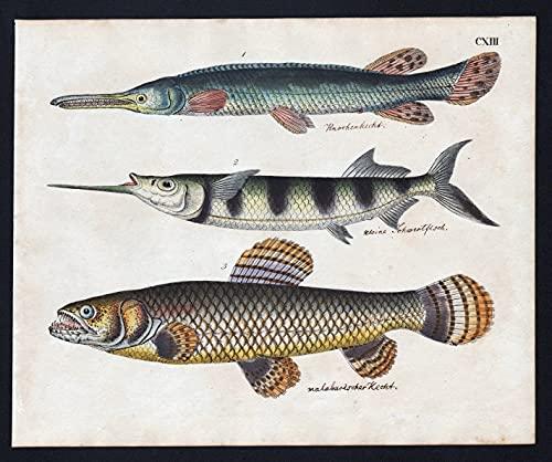 Knochenhecht / kleine Schwertfisch / malabarische Hecht - Fisch fish Fische (Tafel CXIII)