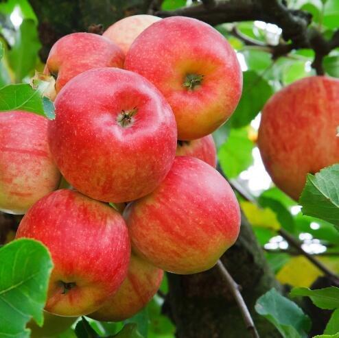 bonsaï nain 50 graines cueillir des fruits délicieux dans votre jardin facile -growing Bonsai FruitFree Livraison 2