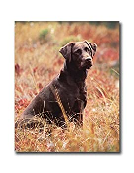 Chocolate Lab Dog in Field Outdoor Wall Picture 8x10 Art Print