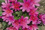 Pinkdose 20 LEWISIA Longipetala-Hyb. 'Little Raspberry'red/scarlet / purple