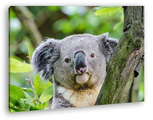 deyoli Kleiner Süßer Koala Format: 80x60 als Leinwandbild, Motiv fertig gerahmt auf Echtholzrahmen, Hochwertiger Digitaldruck mit Rahmen, Kein Poster oder Plakat
