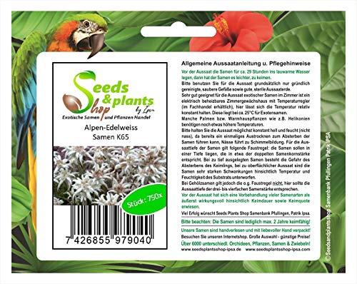 Stk - 750x Alpen-Edelweiss Leontopodium alpinum Samen Blumen Frisch Saat K65 - Seeds Plants Shop Samenbank Pfullingen Patrik Ipsa