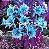 100 Pcs Rare Spider Lily Seed,Lily Flower,Perfume Lilium Plants, Faint Scent ,Seed Pots Plant for Home & Garden Decoration - (Color: 3)