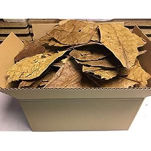 catappa-leaves-Seemandelbaumbltter-300g-B-Ware-unsortiert-Blitzversand-im-Paket