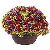 花の種子:梅雨ドライブウェイパスガーデン[ホームガーデンの種子エコパック]のためのネメシア多年生の花の種子植物の種子によって、FLWR-PD-SD-77521