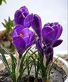 HONIC Safran Bulbes Pays-Bas Crocus sativus Fleurs des Plantes rares Bonsai Fleurs Plantes à Fleurs bulbes Frais Bonsai-2 Ampoules: 2