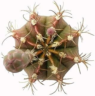 gymnocalycium mihanovichii flower