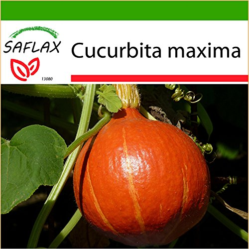 SAFLAX - Kürbis - Japan Hokkaido - 10 Samen - Mit keimfreiem Anzuchtsubstrat - Cucurbita maxima