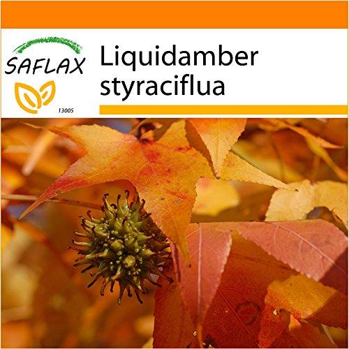 SAFLAX - Garden in the Bag - Amerikanischer Amberbaum - 100 Samen - Mit Anzuchtsubstrat im praktischen, selbst aufstellenden Beutel - Liquidamber styraciflua