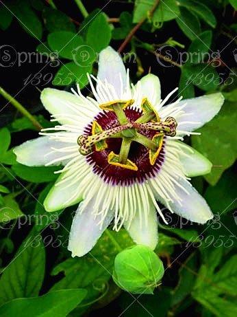 5pcs Passiflore (Passiflora incarnata), plantes Passion fruits exotiques Graines grenadille pour le jardin à la maison 3