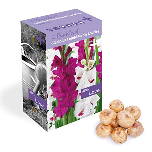 Plant & Bloom bulbos de Gladioli Holandeses, 12 bulbos - Fácil de cultivar - Para la siembra de primavera en su jardín - Calidad Holandesa - Floraciones moradas y blancas