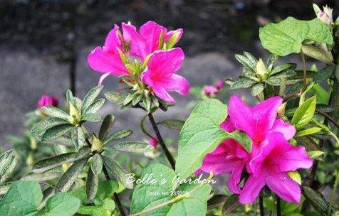 100 pcs/sac Variétés graines Azalea, belle plante de fleurs Accueil Jardin Fleurs en pot semences intérieur Graines Bonsai 8