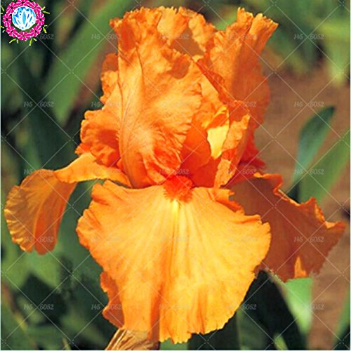 Graines rares Bule Iris Bonsai, graines de fleurs de jardin vivaces en pot, plante de bonsaïs pour intérieur ou extérieur, de couleur différentes, 20pcs/bag 1