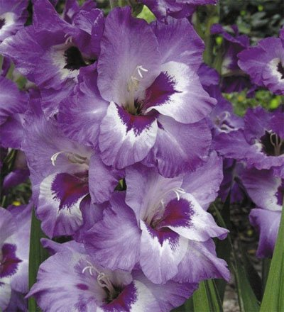 Made and Shipped in USA, Large Bulbs, Vista Purple & White Gladioli (10) Beautiful Flowering Perennials, Sword Lily, Gladiolus Bulbs