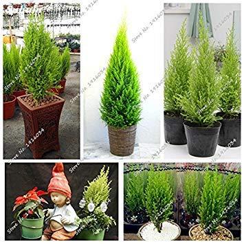 Pine Tree Rare graines Plantes d'intérieur vivaces Bonsaï Grove Seed Picea La Germination Taux 95% Pots de fleurs Pots 60 Pcs