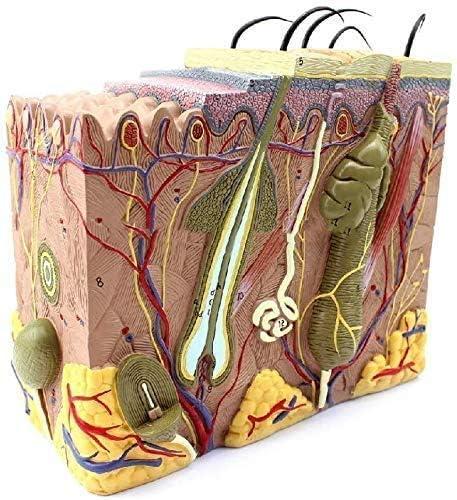 SENWEI Model of Atlanta Mall Human Organ Chicago Mall Medical Mode Teach Tissue Dissection
