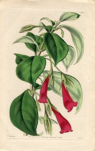 Nematanthus Chloronema - Shorter-Flower-Stalked Nematanthus. Altkolorierter Kupferstich (Aus: Curtis' Botanical Magazine, No. 4080).