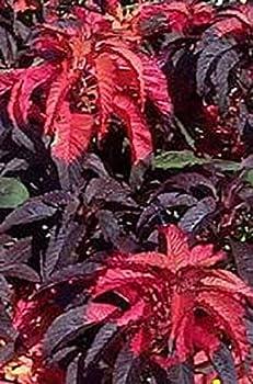 200 Amaranthus Molten Fire Amaranthus Gangeticus Flõwẽr S.EEDs