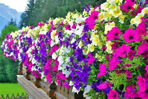 50Pcs Hanging Petunia Semi misti Waves bel colore semi Fiori Per giardino come Per la casa: Pink