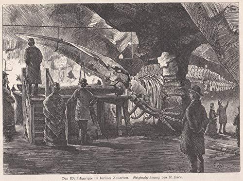 Wale/Walfang - Das Walfisch-Skelett im Berliner Aquarium (der Wal strandete 1881 während einer Sturmflut auf Eversand bei Geestemünde). [Grafik]
